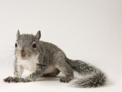 Young Western Gray Squirrel, Sciurus Griseus-Joel Sartore-Photographic Print