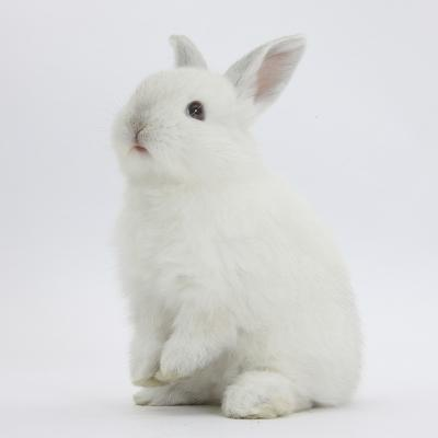 Young White Domestic Rabbit Sitting Up on its Haunches-Mark Taylor-Photographic Print