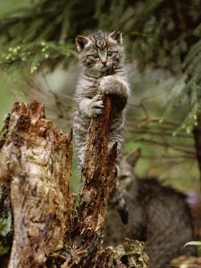 Young Wildcat Perches on a Tree Stump While Its Mother Watches-Norbert Rosing-Photographic Print