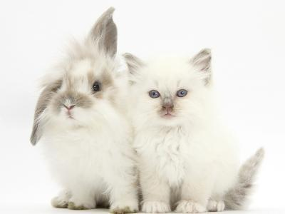 Young Windmill-Eared Rabbit and Matching Kitten-Mark Taylor-Photographic Print