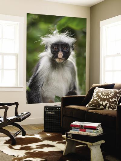 Young Zanzibar Colobus Monkey-Douglas Steakley-Wall Mural
