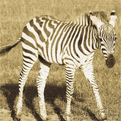 Young Zebra-Susann Parker-Art Print
