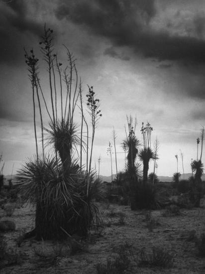 Yucca Plants in Desert-Alfred Eisenstaedt-Photographic Print