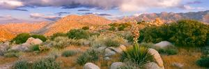Yucca (Spanish Bayonet) Plants Blooming in a Desert, Culp Valley Primitive Campground