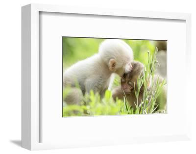 Japanese Macaque (Macaca Fuscata Fuscata) Rare White Furred Baby Playing with Another Baby