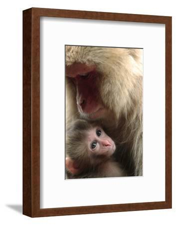 Japanese Macaque (Macaca Fuscata) Nursing One Month Old Baby