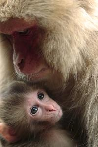Japanese Macaque (Macaca Fuscata) Nursing One Month Old Baby by Yukihiro Fukuda