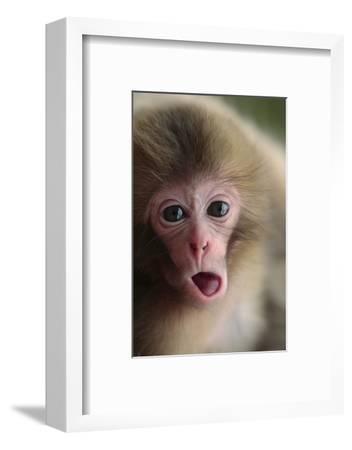 Japanese Macaque (Macaca Fuscata) One Month Old, Jigokudani, Joshinetsu Kogen Np, Nagano, Japan