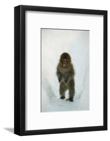 Japanese Macaque - Snow Monkey (Macaca Fuscata) 8-Month-Old Monkey Walking Through Thick Snow