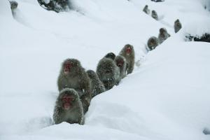Japanese Macaque - Snow Monkey (Macaca Fuscata) Group Walking Along Snow Trail in Heavy Snow by Yukihiro Fukuda
