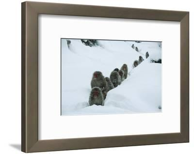 Japanese Macaque - Snow Monkey (Macaca Fuscata) Group Walking Along Snow Trail in Heavy Snow
