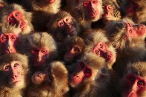 Japanese Macaques (Macaca Fuscata) Faces Looking Up by Yukihiro Fukuda