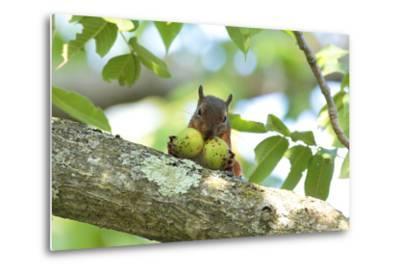 Japanese Squirrel (Sciurus Lis) Carrying Two Walnut (Juglans Ailantifolia)