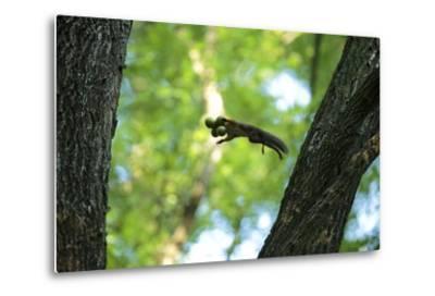 Japanese Squirrel (Sciurus Lis) Jumping From Tree To Tree With Four Walnut (Juglans Ailantifolia)
