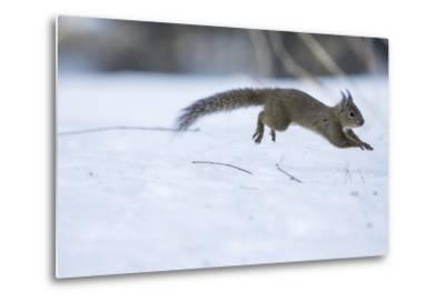 Japanese Squirrel (Sciurus Lis) Running After An Female In Oestrus In The Snow