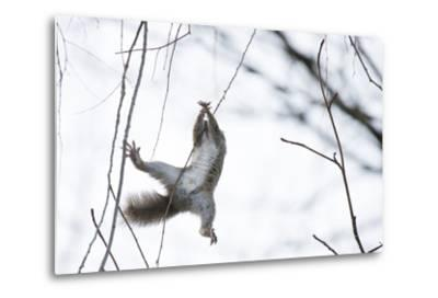 Japanese Squirrel (Sciurus Lis) Trying To Climb Up A Thin Branch After An Female In Oestrus