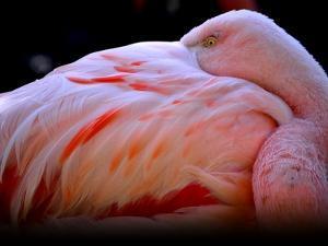 Chilean Flamingo by Yuko Smith photography
