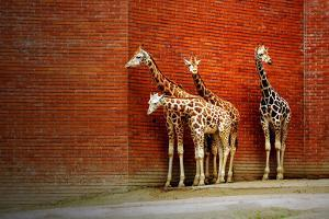Giraffes by yuran-78