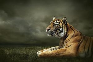 Tiger Looking And Sitting Under Dramatic Sky With Clouds by yuran-78