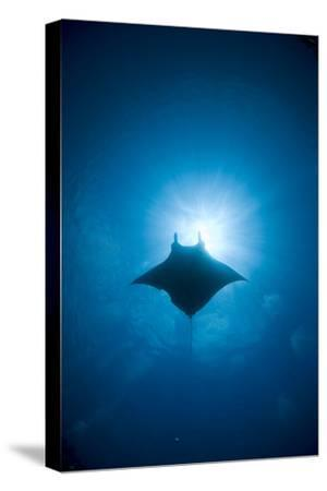 Manta Swimming Underwater, Low Angle View