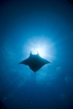 Manta Swimming Underwater, Low Angle View by Yusuke Okada/a.collectionRF