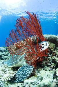 Sea Turtle Resting Underwater by Yusuke Okada/a.collectionRF