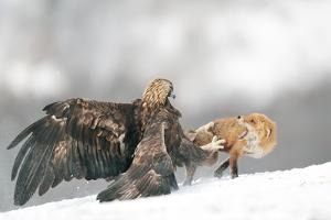 Golden Eagle and Red Fox by Yves Adams