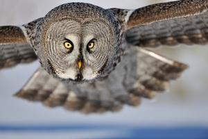 Hunting Great Grey Owl (Strix Nebulosa) by Yves Adams
