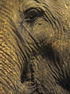 Close-up of Elephant, Thailand by Yvette Cardozo