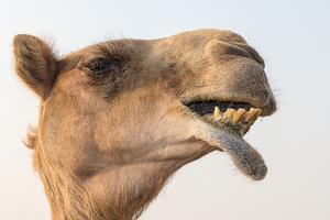 Dubai, UAE. Close-up of a camel. by Yvette Cardozo