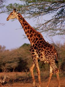 Giraffe, Phinda Game Reserve, South Africa by Yvette Cardozo