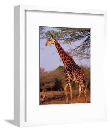 Giraffe, Phinda Game Reserve, South Africa