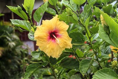 Kosrae, Micronesia. Hibiscus flower growing on bush.
