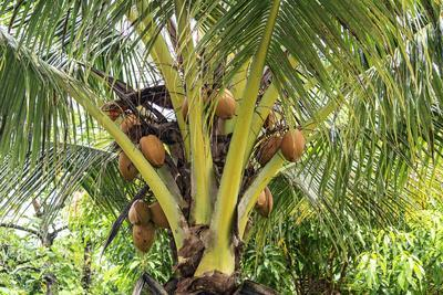 Kosrae, Micronesia. Ripe coconuts growing on a coconut tree.