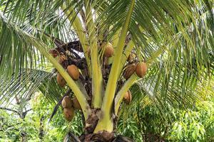 Kosrae, Micronesia. Ripe coconuts growing on a coconut tree. by Yvette Cardozo