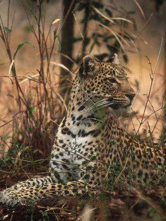 Leopard, Panthera Pardus, Londolozi Game Reserve