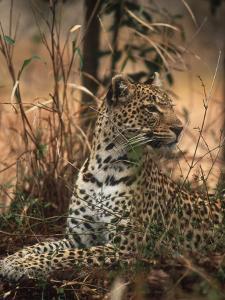 Leopard, Panthera Pardus, Londolozi Game Reserve by Yvette Cardozo