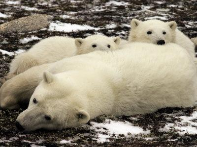 Polar Bear, Mother and Cubs, Ursus Maritimus