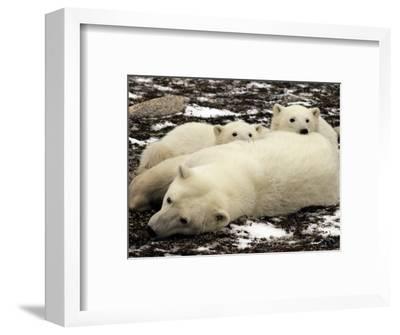 Polar Bear, Mother and Cubs, Ursus Maritimus