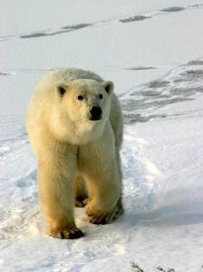 Polar Bear, Ursus Maritimus, Churchill, Manitoba by Yvette Cardozo