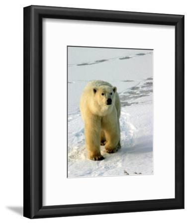 Polar Bear, Ursus Maritimus, Churchill, Manitoba