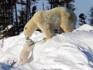 Two Month Old Cub and Mother Polar Bear by Yvette Cardozo