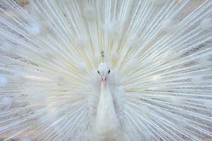White Peacock by zahoor salmi