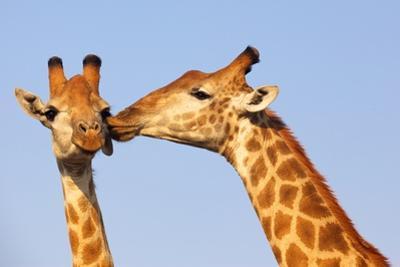 The Kiss by ZambeziShark