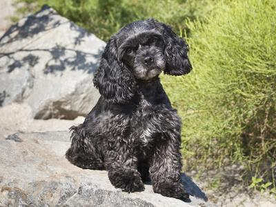 A Black Cockapoo Dog Sitting on Some Boulders