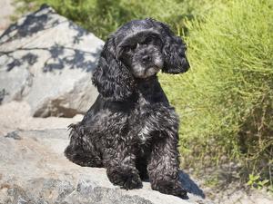 A Black Cockapoo Dog Sitting on Some Boulders by Zandria Muench Beraldo