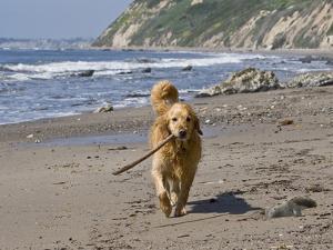A Golden Retriever Walking with a Stick at Hendrey's Beach in Santa Barbara, California, USA by Zandria Muench Beraldo