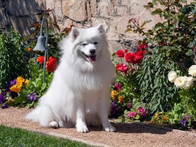 American Eskimo Dog on Garden Path with Flowers by Zandria Muench Beraldo