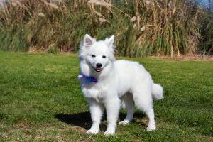American Eskimo Puppy in Field by Zandria Muench Beraldo