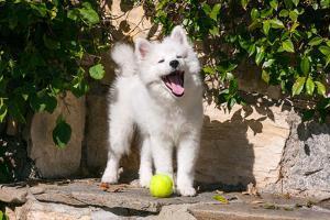 American Eskimo Puppy Ready to Play Ball by Zandria Muench Beraldo
